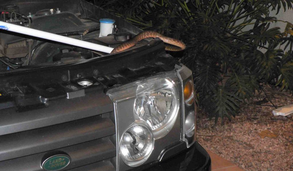 Snake in car engine
