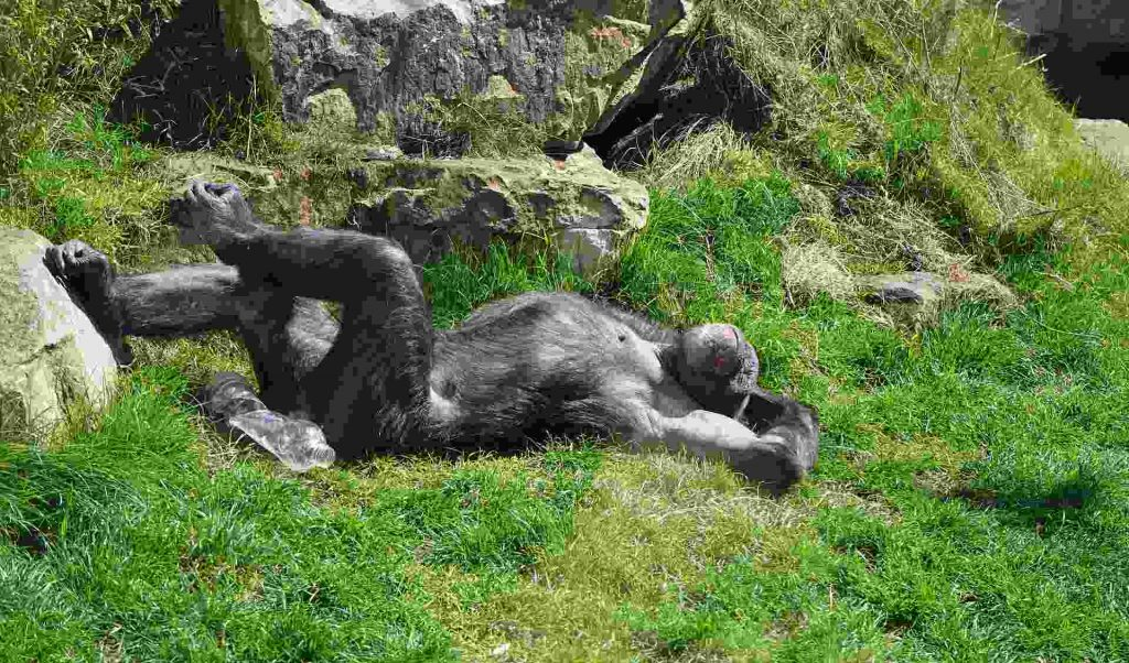 Gorilla lazing in the sun