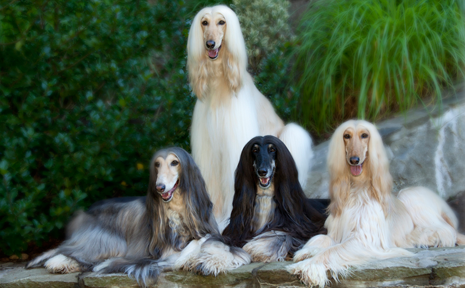 Beautiful Afghan hounds